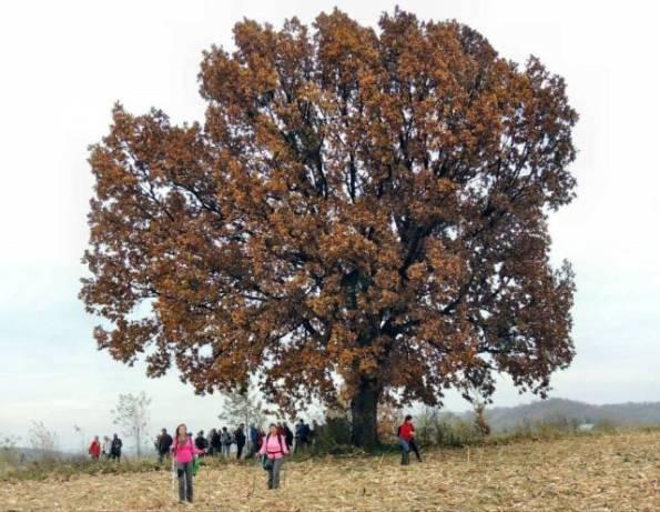 Други столетни храст - Видиковац ка Крагујевцу
